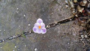 Blühen im Spalt